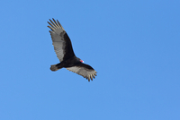 Turkey Vulture in Flight over Farm near Madoc, Ontario, Canada