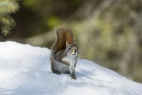 Red Squirrel in Winter, Algonquin Provincial Park, Ontario, Canada