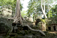 Kapok tree growing in the ruins of Preah Khan Temple, UNESCO World Heritage Site, Angkor, Siem Reap, Cambodia, Indochina, Southe