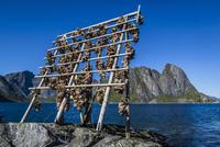 Drying cod fish heads, Sakrisoy, Moskenesoy island, Lofoten Archipelago, Nordland, Northern Norway, Norway