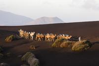 Camel train at sunrise, Timanfaya National Park, Lanzarote, Las Palmas, Canary Islands