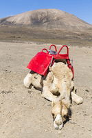 Tired Camel with Red Saddle in Dry Volcanic Landscape, Lanzarote, Canary Islands, Spain