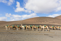 Camels Ready for Tourists by Volcanoes, Montanas del Fuego, Timanfaya National Park, Lanzarote, Canary Islands, Spain
