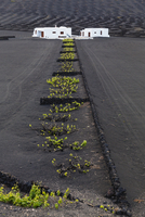 Vineyards Protected by Stone Walls in dark lava soil of Volcanic Landscape, La Geria, Lanzarote, Canary Islands, Spain