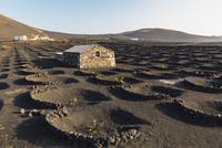 Vineyards Protected by Stone Walls in dark Lava Soil, La Geria, Lanzarote, Canary Islands, Spain