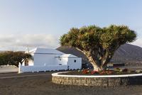 Canary Islands Dragon Tree by White Washed Ermita de Nuestra Senora de la Caridad nearby Vineyards, La Geria, Lanzarote, Canary