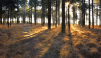Path through a pine forest at sunrise, Wareham Forest, Dorset, England