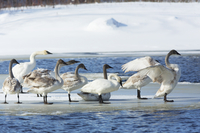 Trumpeter Swans on Ice Floe during Spring Migration, Moira River, Tweed, Ontario, Canada