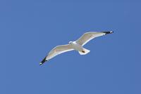 Ring-Billed Gull in flight, Presqu'ile Provincial Park, Ontario, Canada