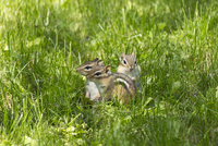 Three Young Eastern Chipmunks (Tamias striatus), just out from the burrow in Spring near Madoc, Ontario, Canada