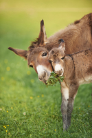 Close-up of Mother Donkey (Equus africanus asinus) with one week old Foal on Meadow in Summer, Upper Palatinate, Bavaria, German 20025323079| 写真素材・ストックフォト・画像・イラスト素材|アマナイメージズ