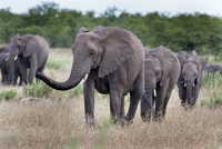 Elephant herd, Kruger National Park, South Africa, Africa 20025323309| 写真素材・ストックフォト・画像・イラスト素材|アマナイメージズ