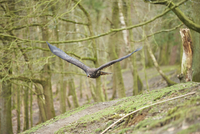Portrait of Golden Eagle (Aquila chrysaetos) in Flight in Spring, Wildpark Schwarze Berge, Lower Saxony, Germany