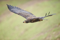 Close-up of Golden Eagle (Aquila chrysaetos) in Flight in Spring, Wildpark Schwarze Berge, Lower Saxony, Germany