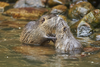 Close-up of Two Coypu (Myocastor coypus) in River in Spring, Wildpark Schwarze Berge, Lower Saxony, Germany