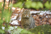 Portrait of European Wildcat (Felis silvestris silvestris) in Spring in Bavarian Forest, Bavaria, Germany
