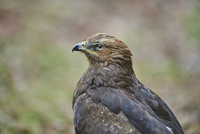 Close-up of Lesser Spotted Eagle (Clanga pomarina) in Spring, Bavarian Forest, Bavaria, Germany