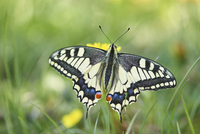 Old World Swallowtail (Papilio machaon) on Common Dandelion (Taraxacum officinale) in Meadow, Upper Palatinate, Bavaria, Germany 20025323944| 写真素材・ストックフォト・画像・イラスト素材|アマナイメージズ