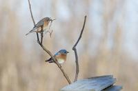 Eastern Bluebirds preparing to Nest in Bird Box on Farm near Madoc, Ontario, Canada