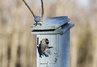 Female Eastern Bluebird Building Nest in Bird Box, Male Supervising on Farm near Madoc, Ontario, Canada