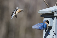 Pair of Eastern Bluebirds Inspecting Nest Box on Farm near Madoc, Ontario, Canada