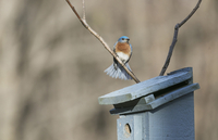Male Eastern Bluebird Perched above Nest Box on Farm near Madoc, Ontario, Canada
