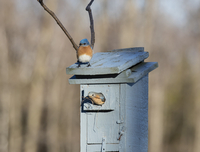 Pair of Eastern Bluebirds at Nest Box on Farm near Madoc, Ontario, Canada