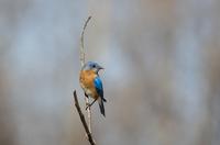 Portrait of Male Eastern Bluebird in Spring Breeding Plumage on Farm near Madoc, Ontario, Canada