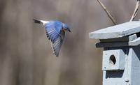 Male Eastern Bluebird Flying to Nest Box on Farm near Madoc, Ontrio, Canada