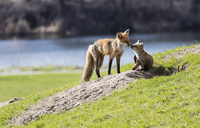 Mother Fox at Den with Kit, Zwick Centennial Park, Belleville, Ontario, Canada
