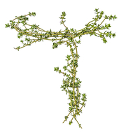 Letter T Made with Thyme