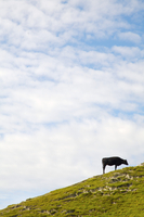 Cow grazing on a hill