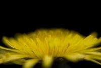 Yellow dandelion Taraxacum hamatum