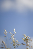 Clsoe up of wild grass against blue sky and clouds