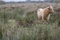 Hairy bull with horns standing on field of wild grass