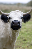 Close up of cow eating blade of grass