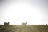 Sheep grazing in sunlight