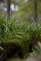 Close up of bluebells and moss