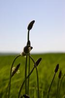 Close up buds in a field