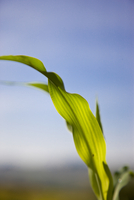 Close up of a corn seedling leaf