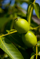 Close up of unripe lemons