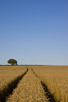 Wheat field with tractor tracks and blue sky