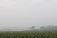 Spinach field and morning mist