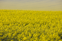 Endless rapeseed field