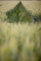 Ditch with grass and poppies in a wheat field