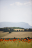 Red poppy field and countryside view