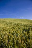 Unripe wheat field and blu sky