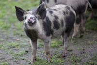 Close up of a spotty piglet
