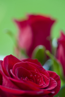 Red roses - Rosa
