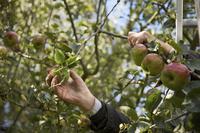 Close up of a man hands picking apples 20025325061  写真素材・ストックフォト・画像・イラスト素材 アマナイメージズ